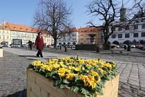 Technické služby vyzdobily dřevěnými květináči s rozkvetlými květinami litoměřické Mírové náměstí.