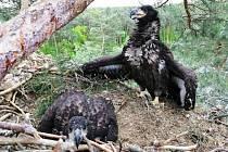 Mládě orla ještě v květnu na hnízdě.