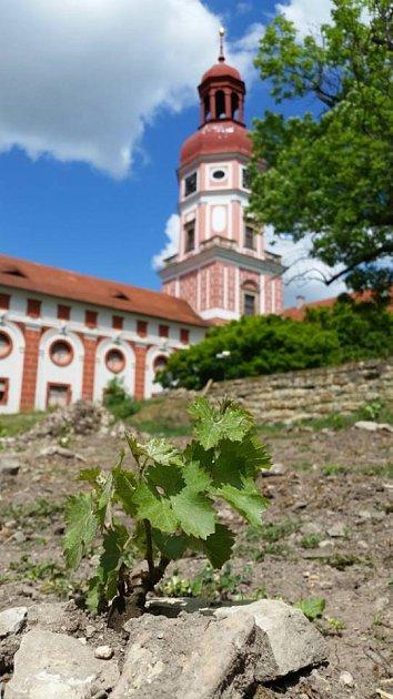 Vsobotu 11.6.v10:30 proběhne vRoudnici nad Labem vzahradách zámku slavnostní otevření – křest nově vysazené vinice.