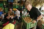V Dobrovolnickém centru Camphill v Českých Kopistech opět pracují dobrovolníci ze zahraničí. Sklízejí bio zeleninu a připravují ji k prodeji. V úterý sklízeli cibuli a tu poté očistili a skládali do beden.