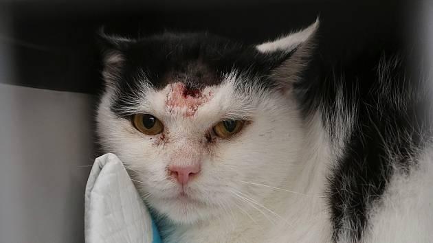 ZRANĚNÝ KOCOUR  z litoměřické ulice Alfonse Muchy. Totožně postřelených koček je tu několik.