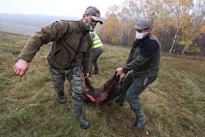 Naháňka na divoká prasata v honitbě Kamýk. Během jednoho dne myslivci skolili v oblasti Miřejovické stráně a Libochovan dvanáct divočáků.