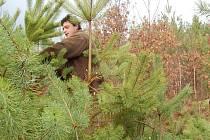 Revírník Lesů ČR na Úštěcku Dušan Zikmund provádí mechanické znehodnocení porostu uřezáním některých větví stromků.