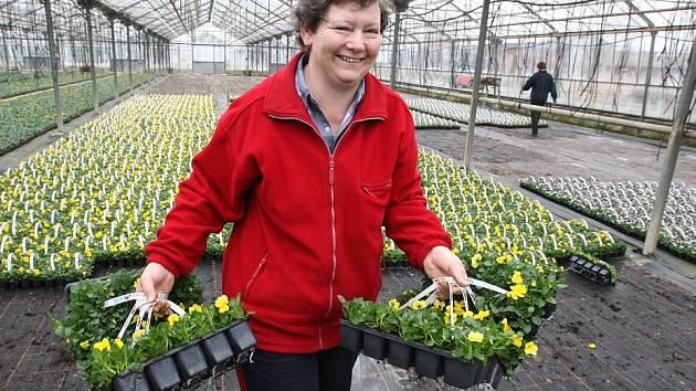 Z travčických skleníků putovaly v uplynulém týdnu tisíce kvetoucích primulí a macešek v několika velikostech především do obchodních řetězců.