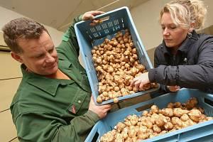 Zvláštní druh brambor topinambury původem z Mexika pěstují manželé Křížovi z Rohatců na Litoměřicku.