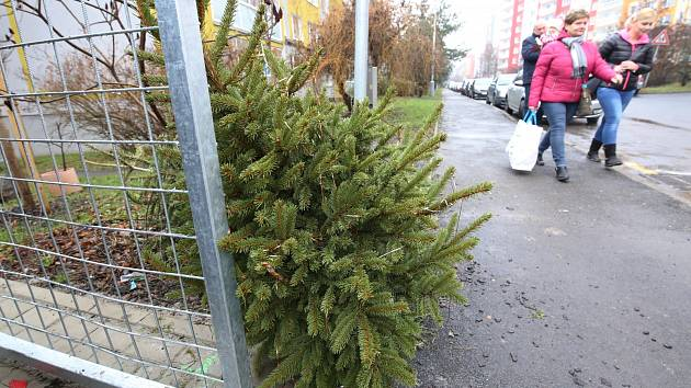 Vyhozené vánoční stromky v Litoměřicích