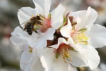 V zahradách začínají rozkvétat stromy, které obsypaly tisíce včel. Někteří sadaři se obávají, aby mráz nepoškodil květy ovocných stromů.