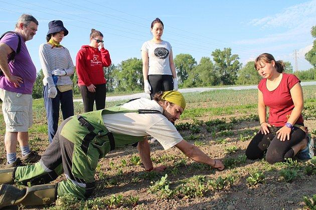 Parta dobrovolníků pracovala na polích Svobodného statku také vloňském roce.