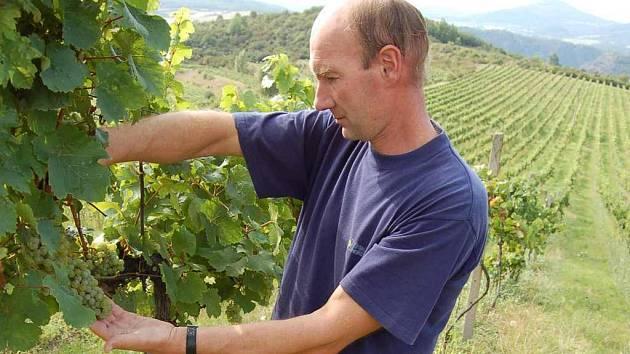 Antonín Hrabkovský mladší posuzuje kvalitu hroznů odrůdy Ryzlink rýnský na vinicích nedaleko Michalovic na Litoměřicku.