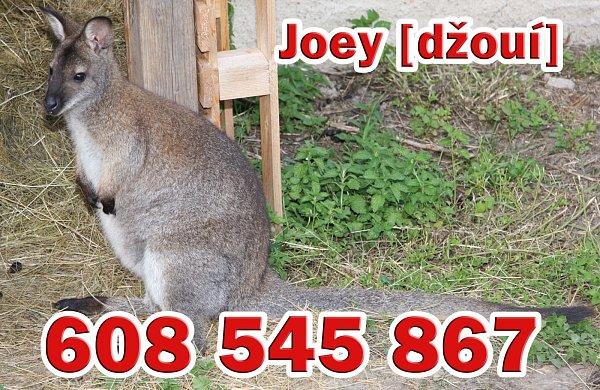Klokan Joey.