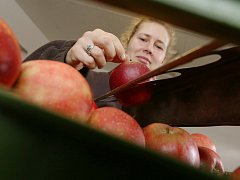 Adéla Šnajdrová z Ovocnářství Jelínek třídí jablka k přímému prodeji ze skladu.