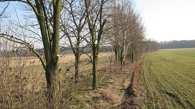 Větrolamy, které dnes tvoří přírodní předěl katastrů pozemků mezi obcemi Vědomice a Černěves, byly vysazeny v 90. letech při pozemkových úpravách. Chrání pole před větrnou erozí a zvířatům poskytují úkryt. Dřevinám byl nedávno poskytnut laický prořez.