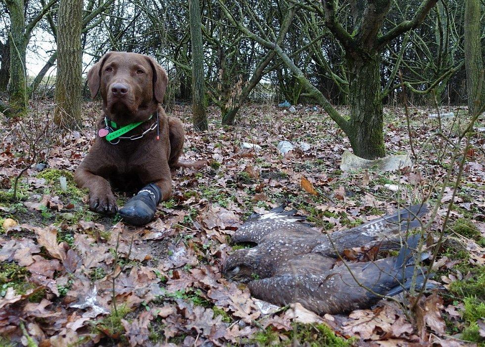 Speciálně vycvičený pes Victory, který v terénu pátrá po otrávených návnadách a jejich obětech. Na snímku s kání lesní nalezenou 17. března 2021 na Litoměřicku