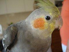 Ztracený papoušek.