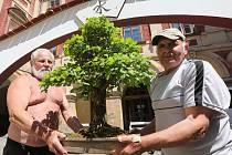 Příprava na výstavu bonsají v Libochovicích