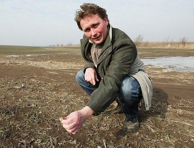 OBILÍ NIČÍ MRAZY.   Agronom ZD Klapý Pavel Vodenka ukazuje pomrzlé rostliny na polích u Klapého.