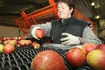 Krásná a chutná česká jablka nyní vyskladňují například zemědělci z Klapého na Lovosicku. Na snímku Jarmila Černá.