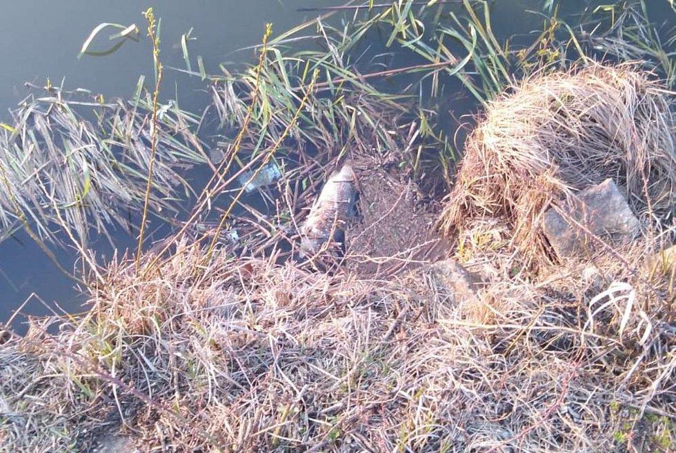 Desítky uhynulých kaprů lemují v posledních dnech břehy úštěckého Jezera Chmelař. Další pak u břehů malátně a apaticky plavou. Rozsáhlý úhyn už řeší Rybářství Doksy, které v rybníku hospodaří.