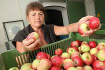 Pěstitelé jablek na Litoměřicku už mají ve skladech první letošní jablka.