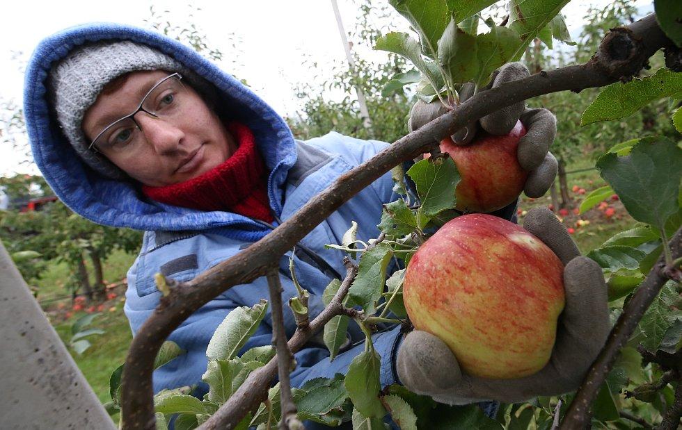 Pracovníci a brigádníci sklízejí v sadech pod Hazmburkem metráky krásných jablíček, které si mohou zákazníci téměř okamžitě koupit domů.