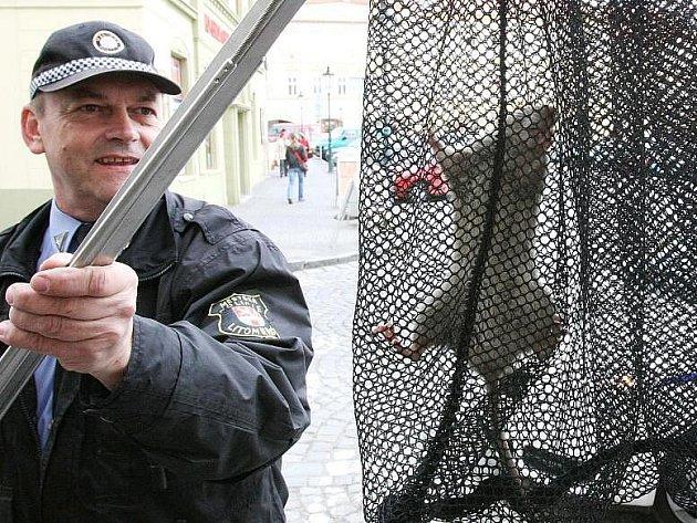 Strážníci odchytili krysu na náměstí.