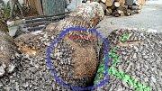 Dokumentační snímky kmenů lip ze slatinského hřbitova.