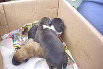 PŘEŽILA JEN TŘI. Ze sedmi štěňat vyhozených u rušné silnice I/15 u Třebenic dokázala v pytli přežít jen tři. Jejich nálezce je se strážníkem Tomášem Rotbauerem převezl do psího útulku v Žimu.