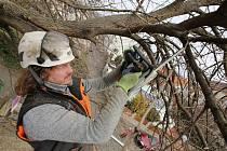 Jarní prořezávka stromů v Litoměřicích