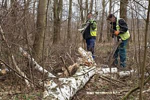 Pracovníci odborné arboristické firmy začali kácet nemocné stromy v prostoru Labského lesoparku.
