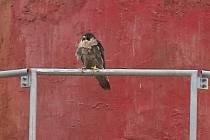 Na komínu Čížkovické cementárny Lafarge již několik let hnízdí sokol stěhovavý. Nyní budou opouštět hnízdo další mláďata.