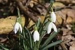 Krásné sněženky předjarní nyní rozkvétají po obou březích řeky Labe v Dobříni