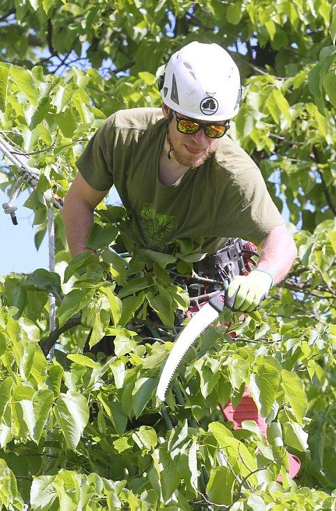 PAMĚTNÍ LÍPA velkolistá na Novém náměstí ve Štětí prodělala díky projektu Zdravé stromy pro zítřek očistnou kúru.
