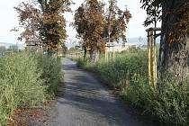ZÁŘÍ 2012. Kaštanová alej je neudržovaná, cesta podle katastru nemovitostí je v majetku Města Litoměřice. Tráva podle sledování Deníku nebyla od jara do podzimu posekána.