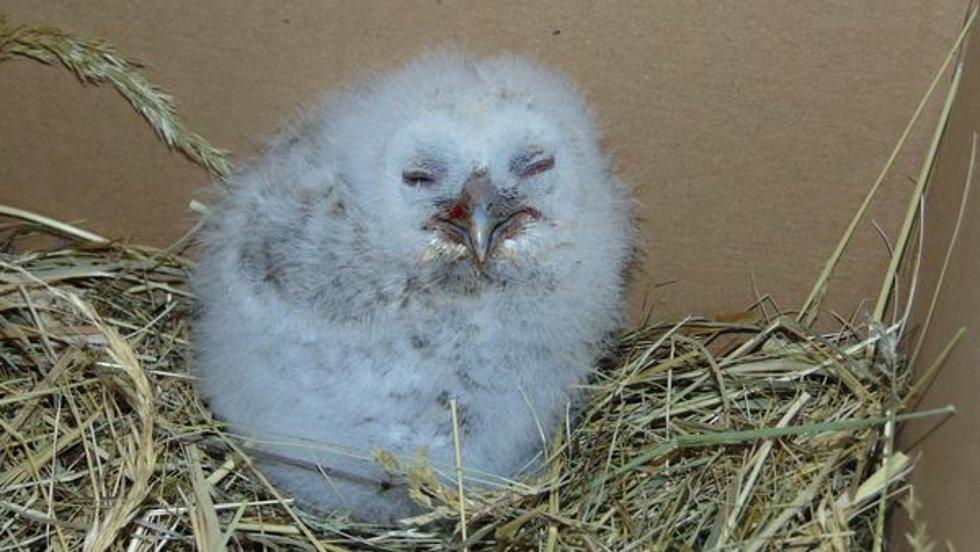 S příchodem jara se do záchranné stanice Falco v Dolním Týnci u Třebušína dostávají osiřelá mláďata z volné přírody.