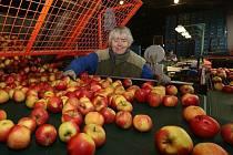 V těchto dnech se do skladů s třídicí linkou svážejí poslední tuny pozdních odrůd jablek. Plody ve standardní velikosti si odvezou obchodníci, nebo se uskladní na zimu.