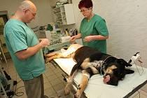 JE PO OPERACI. Veterinář Marek Káninský zpevnil mladé Sáře kolenní kloub. Vše záleží na následné rekonvalescenci. V tuto chvíli se již Sára zotavila z pooperačního stavu. Ještě chvíli ale potrvá, než se na nohu postaví. Potom bude následovat druhá operace