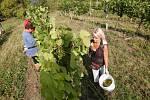 Začala sklizeň hroznů ve vinohradu Klášterních vinných sklepů Litoměřice Ladislava Pošíka. Tak jako každý rok se zde začíná se sklizní odrůdy Müller Thurgau.