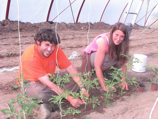 Vedle dobrovolníků, kteří pracují na poli, se zahradníci starají o výsadbu sazenic rajčat ve fóliovníku.