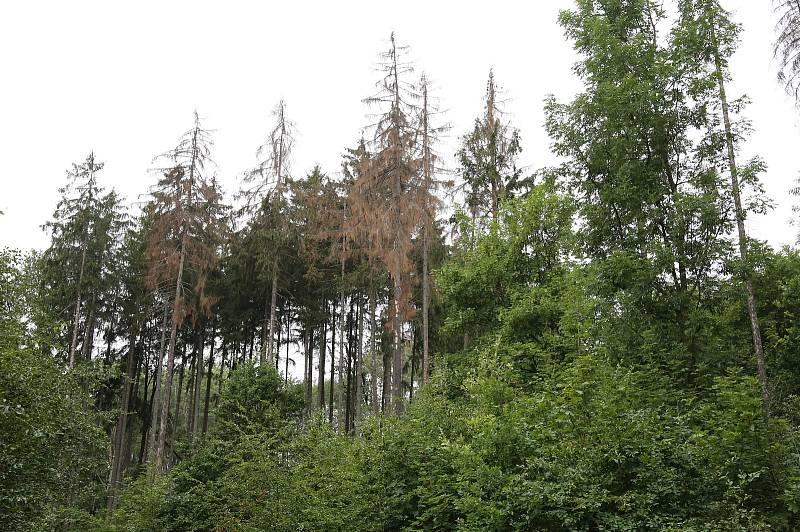 Kůrovec vlivem sucha devastuje lesy na Litoměřicku. Lesní správa Lesů ČR Litoměřice eviduje velké množství napadených smrkových porostů. Na fotografiích ukazuje Aleš Krišpín z Lesní správy Litoměřice, jak brouk devastuje smrkové porosty poblíž Třebušína.