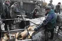 Výlov ryb z jezera Chmelař v Úštěku