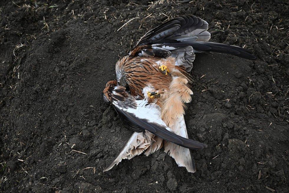 Luňák červený nalezený 14. března 2021 na Hodonínsku. Zaťaté pařáty a křečovitě roztažená křídla ukazují na otravu prudkým jedem.