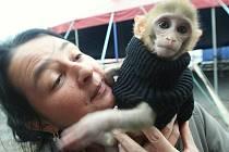 Žaneta Navrátilová, dcera majitele cirkusu, ukazuje mládě opičky.