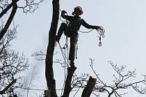 Prořez stromů na Střeleckém ostrově v Litoměřicích.