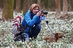 Tisíce kvetoucích sněženek u Roudnice nad Labem