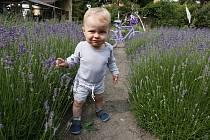 Levandulová zahrada v obci Klapý