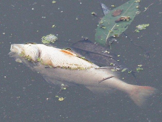 Mrtvé ryby našli rybáři v Lovosicích