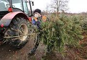 Technické služby města Litoměřice likvidují vyhozené vánoční stromy. Několik tisíc jich projde drtičkou a jako štěpka poslouží coby hnojivo do kompostu.