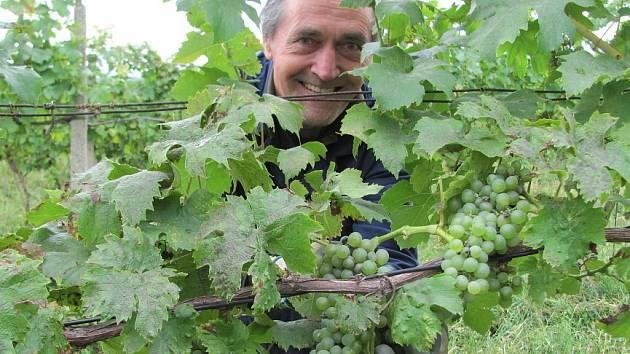 SKLIZEŇ sice začala, ale zatím jde jen o hrozny na burčák. Pro výrobu oblíbeného nápoje už mají dostačující cukernatost. S výrobou vín však vinaři ještě počkají.