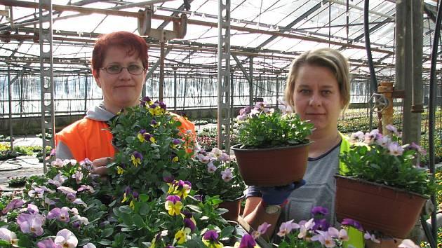 V Travčicích připravují květinové žně