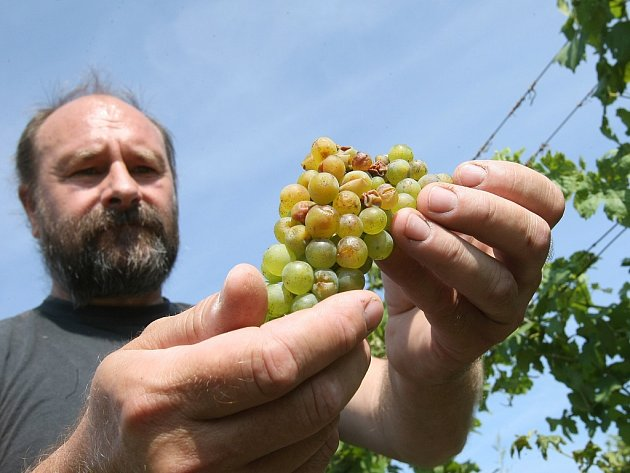 ROZSÁHLÉ škody nyní sčítají vinaři na Litoměřicku. Hrozny citelně poškodily kroupy, které se regionem přehnaly společně s bouřkou v úterý večer. Na některých odrůdách je zničeno až padesát procent úrody. Zdeňku Vybíralovi vnikla voda i do sklepa.